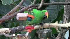 Colorful Parrot Drinking Water - stock footage