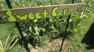 Stock Video Footage of Sweet Corn with Sign