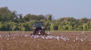 Seabirds follow a powered harrow to find food. Slow motion, wide Stock Footage