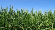 Corn and Blue Sky Stock Footage