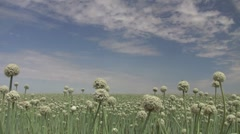 Onion Field in bloom Stock Footage