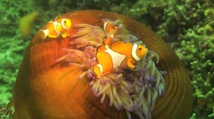 Clownfish and anemone - stock footage