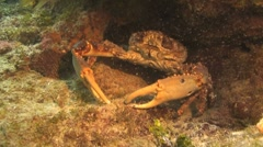 Coral crab Stock Footage