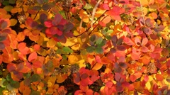 Colorful fall foliage from Reykjavik Iceland, zoom out Stock Footage