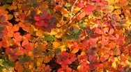 Stock Video Footage of Colorful fall foliage from Reykjavik Iceland, zoom out