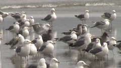 Seagulls on a Foggy Day 2 Stock Footage
