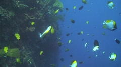 Pyramid butterflyfish Stock Footage
