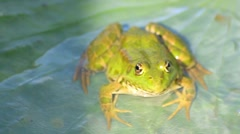 Green frog seating on the leaf Stock Footage