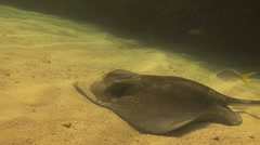 Southern stingray feeding in the sand - stock footage