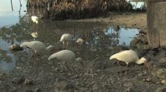 White Ibis' feeding - stock footage