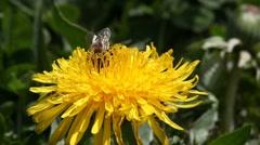 Bee on dandelion Stock Footage