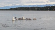 Family of trumpeter swans feeding with ducks Stock Footage