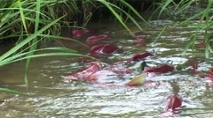 Salmon in the river Stock Footage