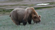 Stock Video Footage of Big Grizzly Bear