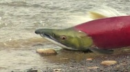 Stock Video Footage of spawned salmon