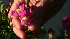 New born Snapdragon Stock Footage