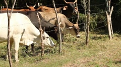 granjero alimentando las vacas en granja - stock footage