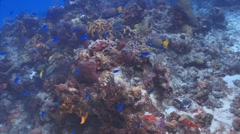 Angelfish, Grunts, Blue Chromis (reef beauty) Stock Footage