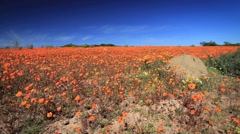 Carpet of Orange Daisies WS low angle, Namaqualand GFHD Stock Footage
