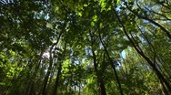 Stock Video Footage of looking up at a deciduous forest, wide angle, seamless loop