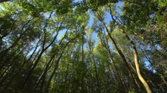 looking up at a deciduous forest, wide angle, dappled shade - stock footage