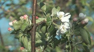 Blossoming apple tree. Stock Footage