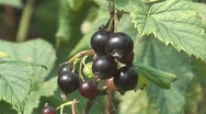 Stock Video Footage of Blackcurrant.