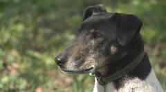 Fox terrier dogs head Stock Footage