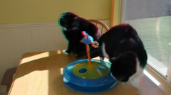 Cats playing with Toy in 3D (requires 3D Glasses to view) Stock Footage