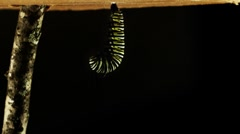 Metamorphosis of a monarch caterpillar / butterfly - stock footage
