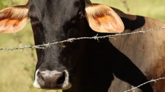 Black cow on fence looking at camera Stock Footage