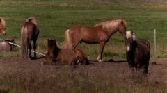 Icelandic horses Stock Footage