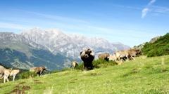 Beautiful cows in highlands. Asturias, Spain. Stock Footage