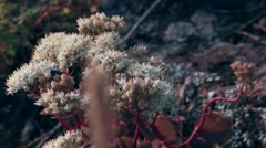 Stonecrop Stock Footage