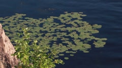 Water lilies - stock footage