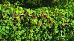 Muscadine clusters on vineyard Stock Footage