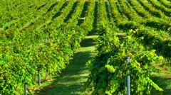 Vineyard windy day 02 Stock Footage