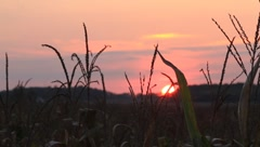 Sunset on Cornfield Stock Footage