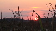 Stock Video Footage of Sunset on Cornfield
