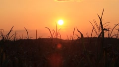 Stock Video Footage of Setting Sun on a Cornfield