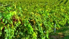Vineyard windy day 03 Stock Footage