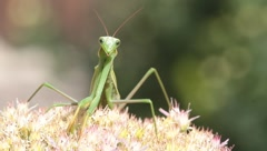 Mantis religiosa on flower looking for food - stock footage