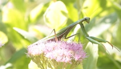 Mantis religiosa on flower looking for food Stock Footage