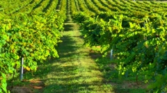 Vineyard windy day 04 Stock Footage
