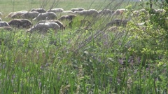 Sheep Stock Footage