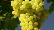 Stock Video Footage of Grape Varieties