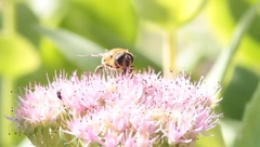 Bumblebee on pink flower Stock Footage