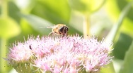 Stock Video Footage of bumblebee on pink flower