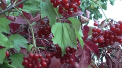 Arrowwood.red bush viburnum. Stock Footage