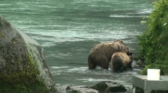 grizzly Bears - stock footage